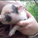 Its a pot belly pigs new born about 6 or 7 weeks old 5742043729
