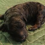 Mini F1b bernedoodle puppy