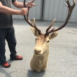 Huge mounted deer head trophy