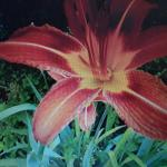 FREE - HYBRID Orange Daylillies