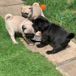 PUG PUPPIES READY TO GO IN LESS THAN 2 WEEKS - BEFORE CHRISTMAS