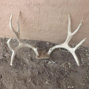 Photo of LOT 552 SET OF ANTLERS 5 POINT