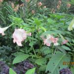 Angel Trumpet Plants