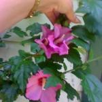 Rose of Sharon Hibiscus Pink x 20+ Seeds
