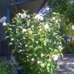 White Hardy Hibiscus x 20+ Seeds