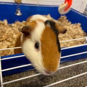 Photo of Guinea pig