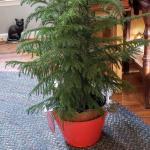 3 Ft Norfolk Pine