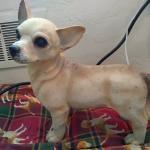 Chihuahuas everywhere!