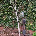 I11 - Light up Birch tree