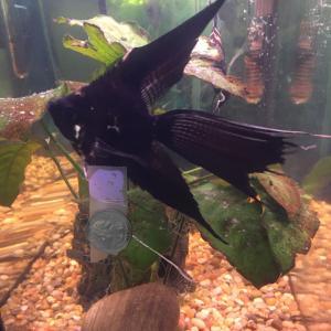 Photo of Breeding Pair Marble Veil Angelfish