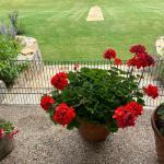 A Pot of Beautiful Red Geraniums