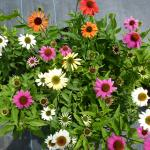 *WHOLESALE PLANTS* Perennials $7.50-Hanging Baskets $11.50-Fig Trees $12.50