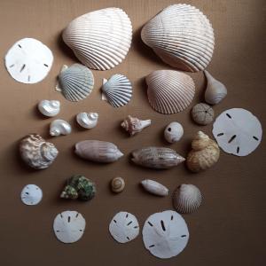 Photo of FREE SEASHELLS
