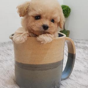 Photo of Male Akc Poodle