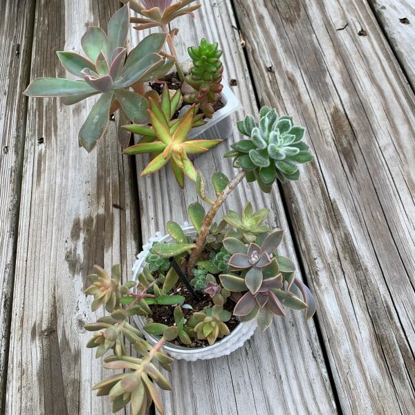 Photo of 2 large bowls of succulents plants, mixed. varieties and large healthy