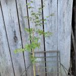 Japanese Maple seedlings for sale