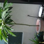 Hawaiian Plumeria Tree